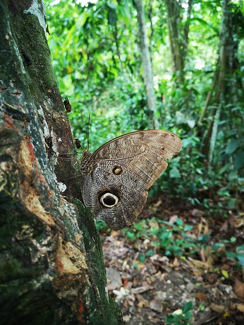 Papillon-ancêtre-selva-Lucille aimée, Pé