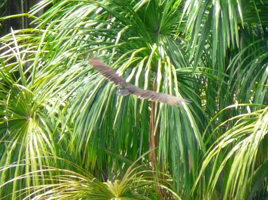 pérou-vautour._Lucille_aimee_edited.jpg