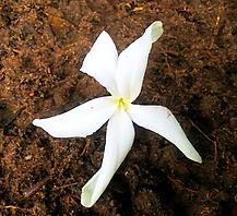 La fleur de la selva