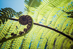 Unravelling fern frond closeup, one of N
