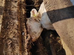 La vie et la mort de 29257, jeune vache du canton de Vaud