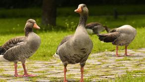 Du foie gras sans gavage?