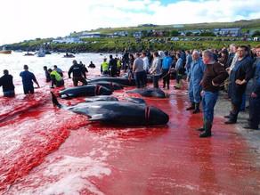 Îles Féroé : un massacre sanglant