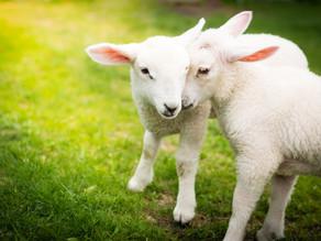 Pâques: le silence des agneaux