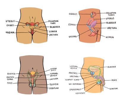reproductive.parts.jpg