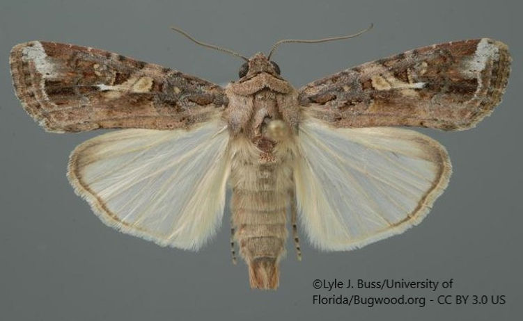FAW moth1.jpg