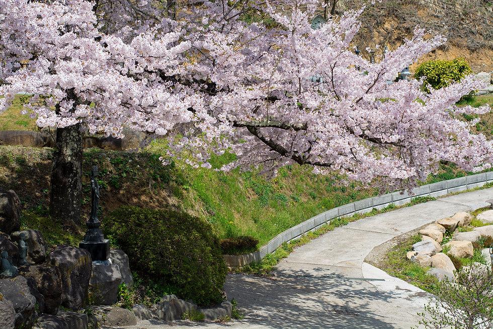 2020_桜.jpg