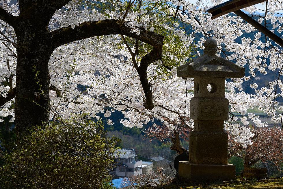 桜の花と石塔
