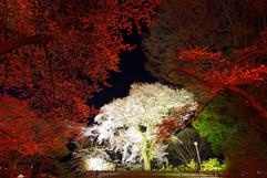 御殿桜_夜桜