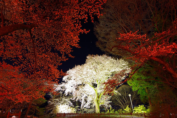 沼田公園の御殿桜