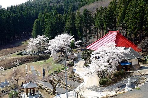 2021_桜の境内.jpg