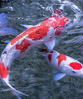 6918086-koi-fish_edited.jpg