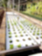 new plants-lettuce.jpg