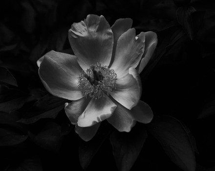subtle b&w flower.jpg