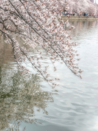 Cherry Blossoms over water-Edit.jpg