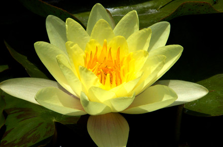 yellow+lilly.jpg