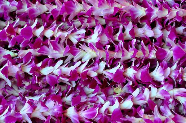 Purple Lai Flowers June -studio.jpeg