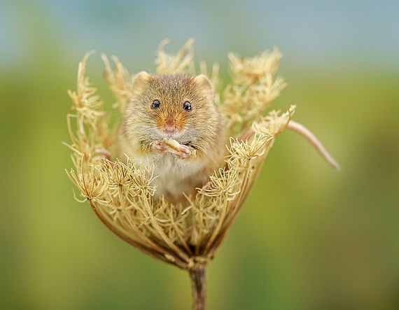 Harvest Mouse in Seedhead Macro GinaR Ph