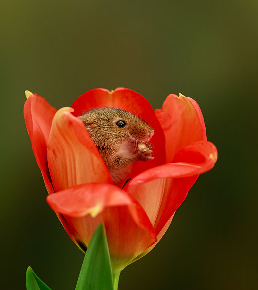 Harvest Mouse in Tulip Macro GinaR Photo