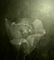 Tulip Harvest Mouse .jpg