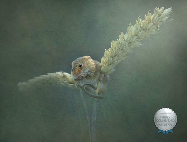 Harvest Mouse highly commended.jpg