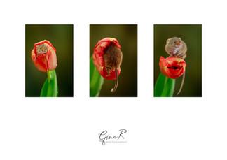 Harvest Mice GinaR.jpg