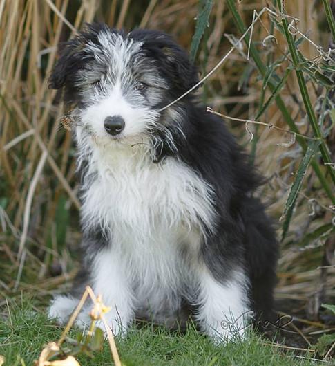 Kilt - Bearded Collie Pup