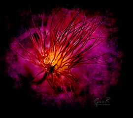 hard light dandelion wm.jpg