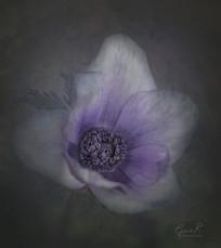 texture anemone purple and green web.jpg