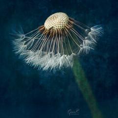 half dandelion .jpg