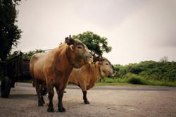 Bœufs tirants
