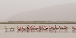 Flamands Roses, Uyuni, Bolivie