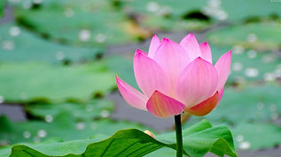 lotus_leaf_flower_pond_water_20673_1366x
