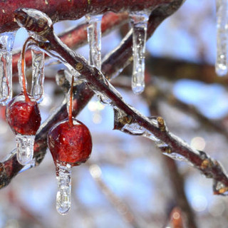 Crab Apples After Ice Storm