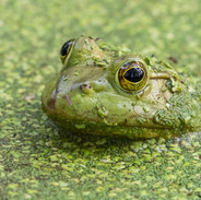 Surrounded By Duckweed