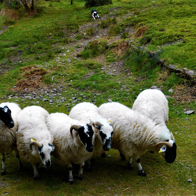 Herded Sheep