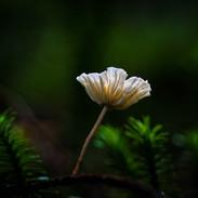 Twig Parachute Mushroom