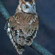 Red Phase Owl