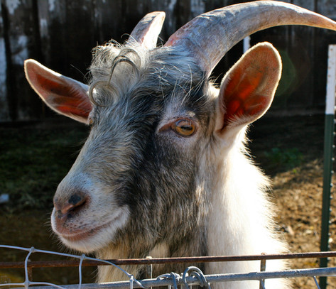 Our farm family includes goats, chickens and honeybees.