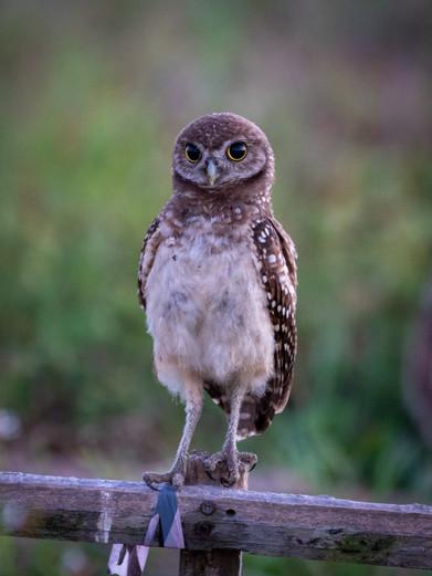 owls-2-9.jpg