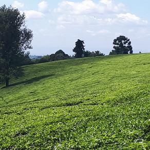 Balade au milieu d'une plantation de thé