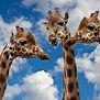 girafekenya.jpg