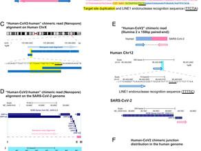 L'ARN du SRAS-CoV-2 transcrit à l'inverse peut s'intégrer dans le génome des cellules humaines