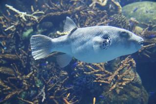 """河豚 🐡 """"fugu"""" (puffer fish)"""