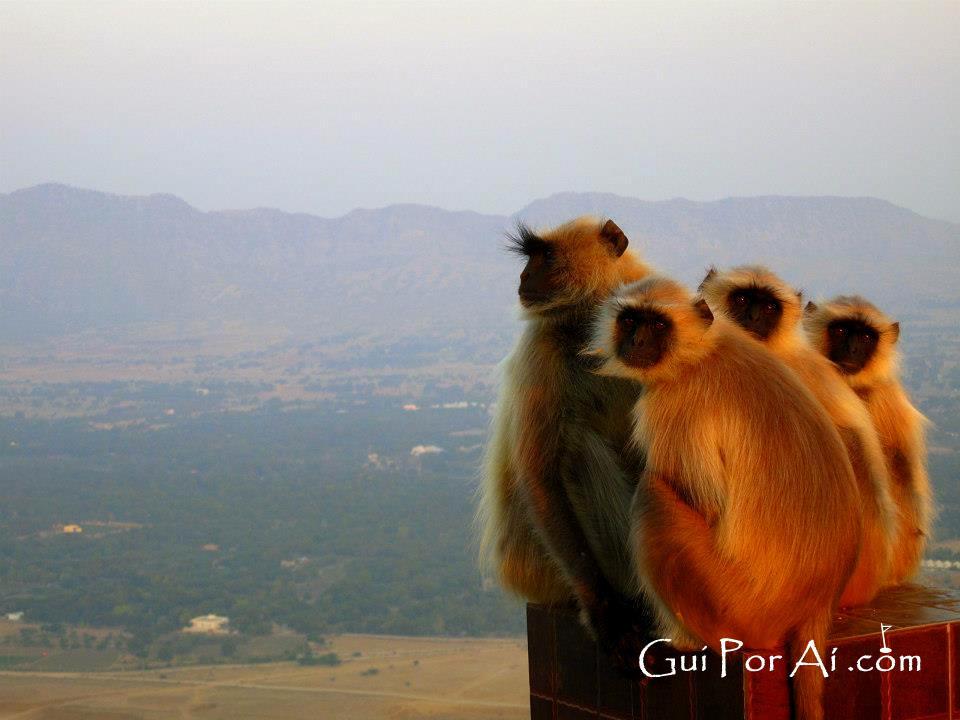 Macacos no Rajastão