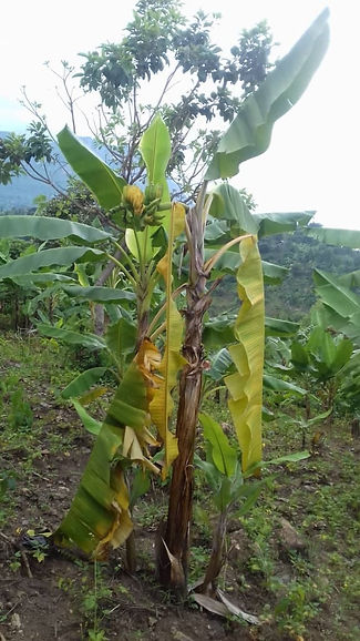 Diseased matoke (banana) tree.jpg