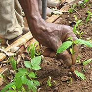 Gardener's hand caring for seedlings at