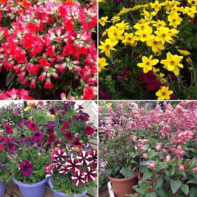 #instantplanters #largeannualplants #ins