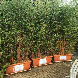 Large evergreen bamboo trough 1m long 3m