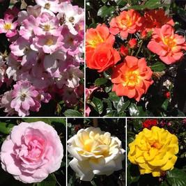#hybridtearoses #floribundaroses #patior